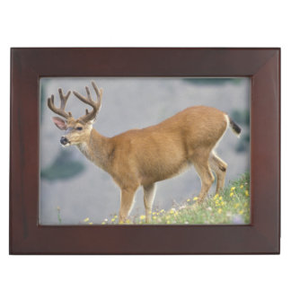 black-tailed deer, Odocoileus hemionus, buck Keepsake Box