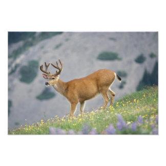 black-tailed deer, Odocoileus hemionus, buck Photo Print