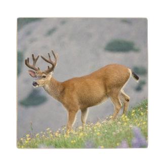 black-tailed deer, Odocoileus hemionus, buck Wood Coaster