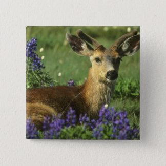 Black-tailed Deer, Odocoileus hemionus), in 15 Cm Square Badge