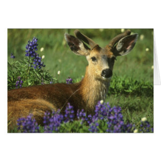 Black-tailed Deer, Odocoileus hemionus), in Card