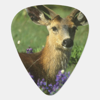 Black-tailed Deer, Odocoileus hemionus), in Guitar Pick