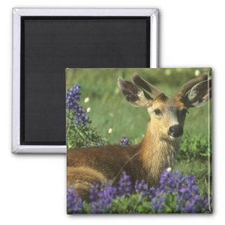 Black-tailed Deer, Odocoileus hemionus), in Magnet