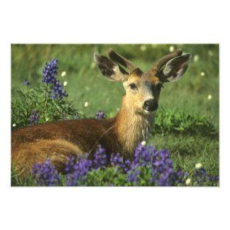 Black-tailed Deer, Odocoileus hemionus), in Photo Print
