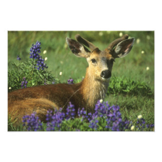 Black-tailed Deer, Odocoileus hemionus), in Photo Print