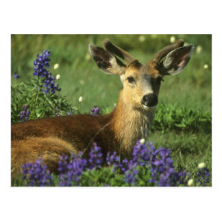 Black-tailed Deer, Odocoileus hemionus), in Postcard