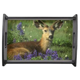 Black-tailed Deer, Odocoileus hemionus), in Serving Tray