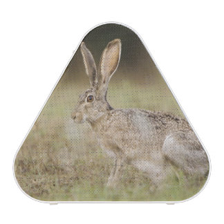Black-tailed Jackrabbit, Lepus californicus,