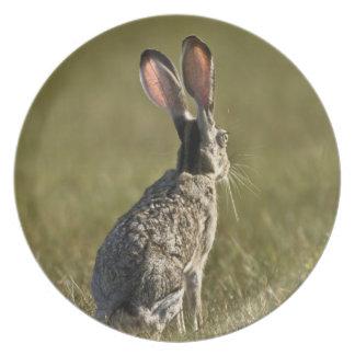 Black-tailed Jackrabbit, Lepus californicus, 2 Dinner Plates