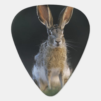 Black-tailed Jackrabbit, Lepus californicus, 2 Plectrum