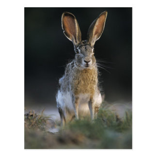 Black-tailed Jackrabbit, Lepus californicus, 2 Postcard