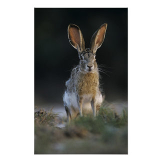 Black-tailed Jackrabbit, Lepus californicus, 2 Poster