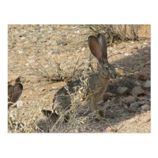 Black-tailed Jackrabbit Postcard