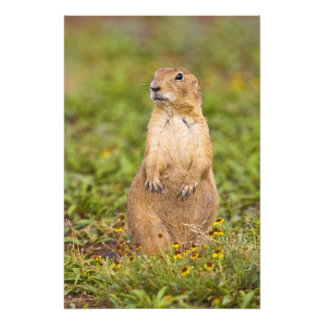 Black-tailed Prairie Dog Cynomys Photo