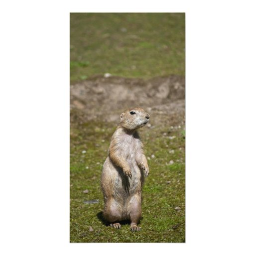 Black-tailed Prairie Dog Personalized Photo Card