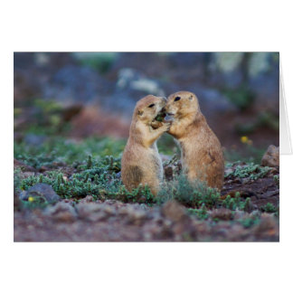 Black-tailed Prairie Dogs - (Cynomys ludovicianus) Card