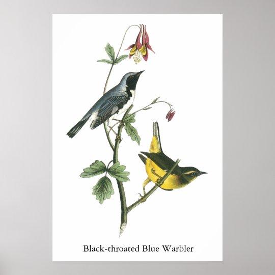 Black-throated Blue Warbler, John Audubon Poster