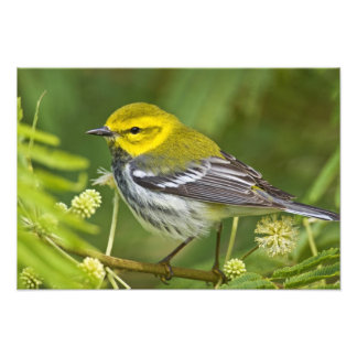 Black-throated Green Warbler Dendroica Photo Print