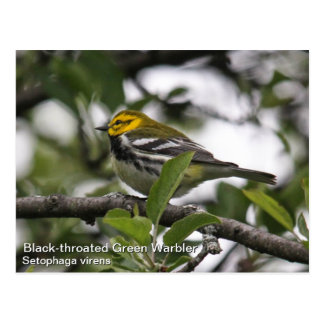 Black-throated Green Warbler Postcard