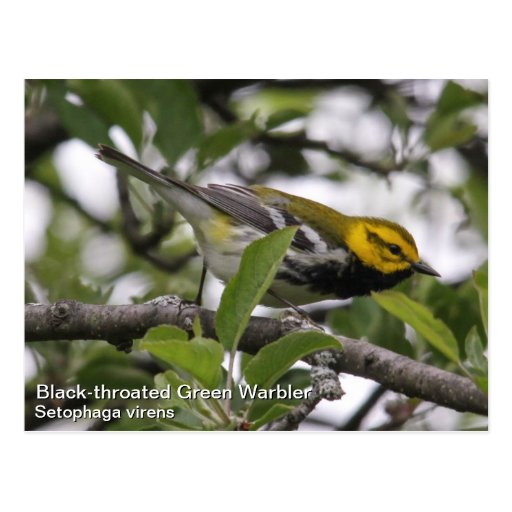 Black-throated Green Warbler Post Card