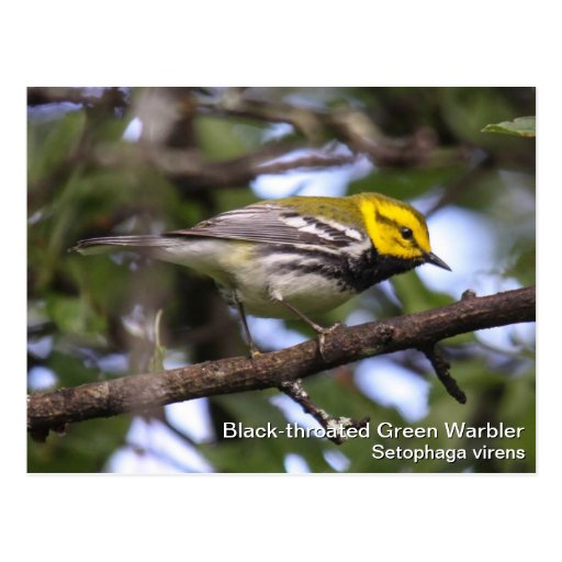 Black-throated Green Warbler Post Cards