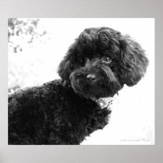 Black Toy Poodle in B&W Print