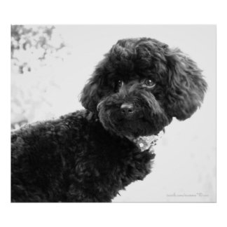 Black Toy Poodle in B&W Print Posters