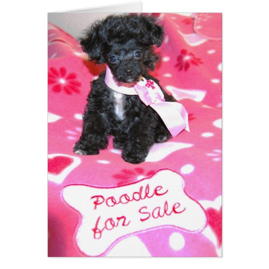 Black Toy Poodle Puppy-for sale card