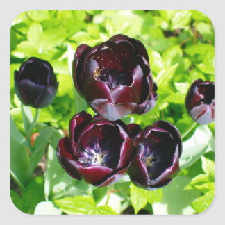 Black Tulips from Holland Square Sticker