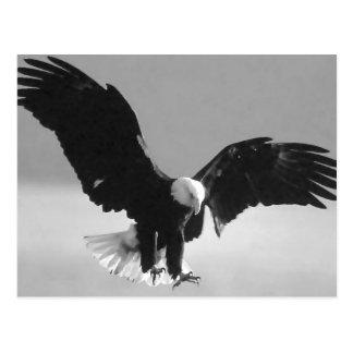 Black & White Bald American Eagle Postcard