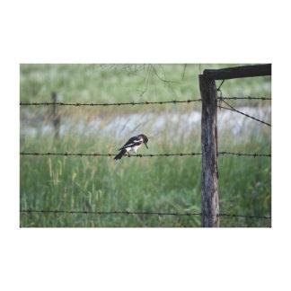 BLACK & WHITE BIRD WILLY WAGTAIL RURAL  AUSTRALIA CANVAS PRINT