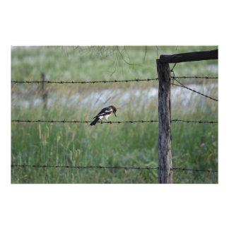 BLACK & WHITE BIRD WILLY WAGTAIL RURAL AUSTRALIA PHOTO ART