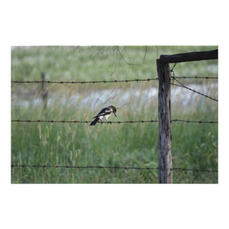 BLACK & WHITE BIRD WILLY WAGTAIL RURAL AUSTRALIA PHOTOGRAPH