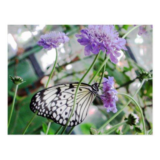 Black & White Butterfly Postcard