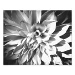 Black & White Chrysanthemum Print 8 x 10 Photo