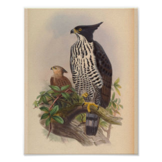 Black White Crested Eagle Bird Vintage Art Print