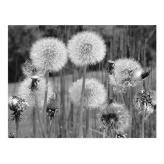 Black & White Dandelions Postcard