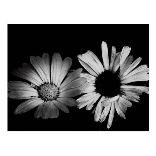 Black & White Flowers Postcards