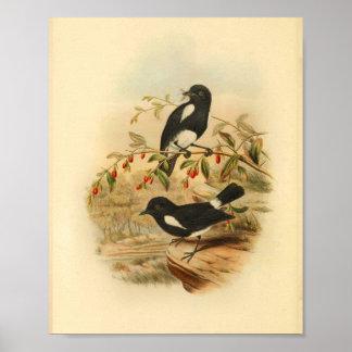 Black White Flycatcher Bird Vintage 1884 Print