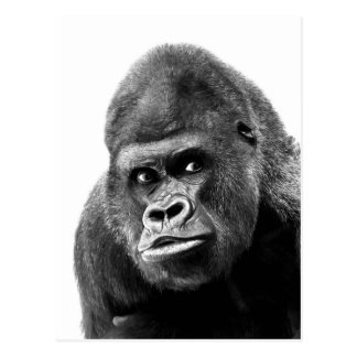 Black White Gorilla Postcard