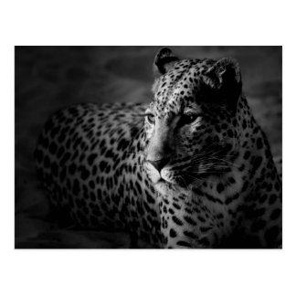black white leopard postcard