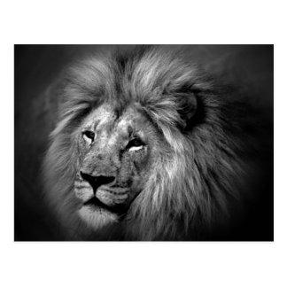 Black & White Lion Photo Postcard