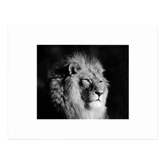 Black & White Lion Photo Postcard