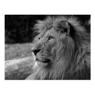 Black & White Lion the King - Animal Photography Postcard