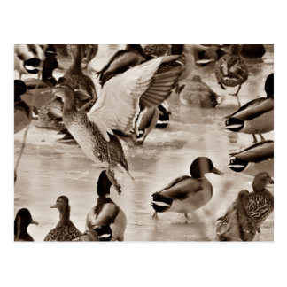 Black & White Mallard Duck Postcard