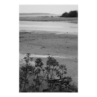 Black & White photograph of mangrove tree sprouts Poster