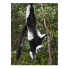 Black & white ruffed lemur hanging up-side-down postcard
