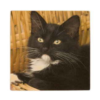 Black & white short-haired kitten on hamper lid, wood coaster