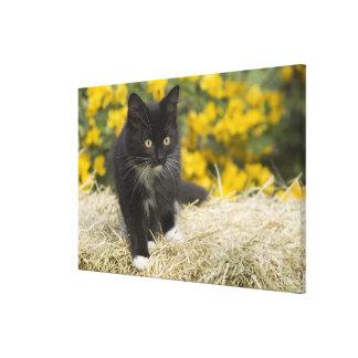 Black & white short-haired kitten on hay bale, 2 canvas print