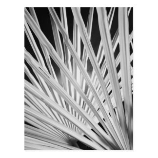 Black & White view of palm tree fronds Postcard